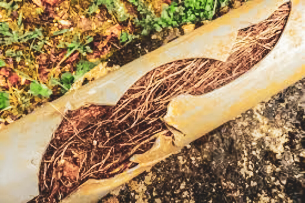 Roots encroaching into a drain pipe breaking it